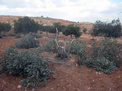 11-05-12 olive trees chopped in Humra _7_